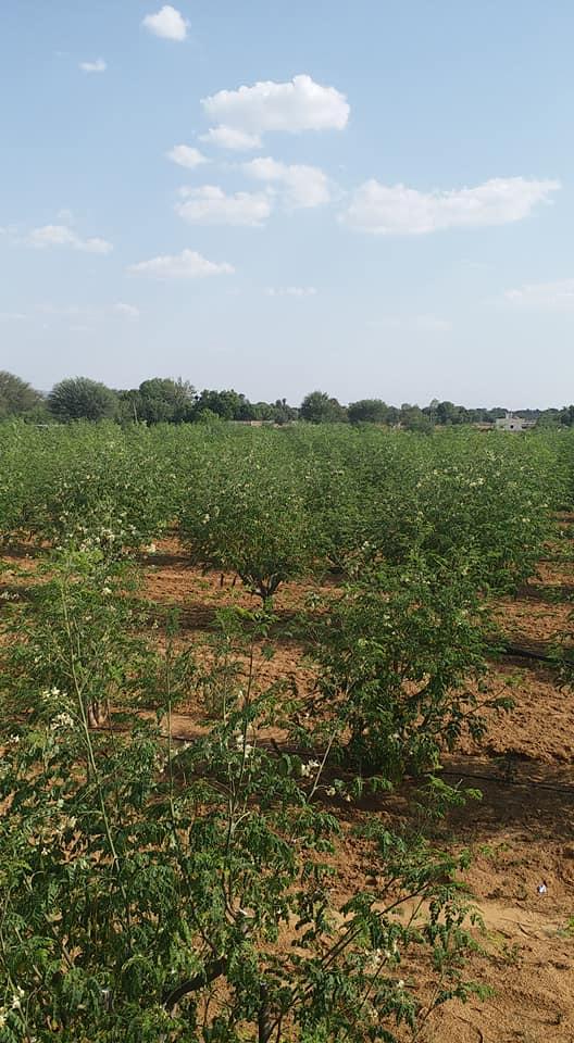 Momax3 moringa farming
