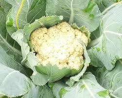 Cauliflower farming, lettuce, cabbage