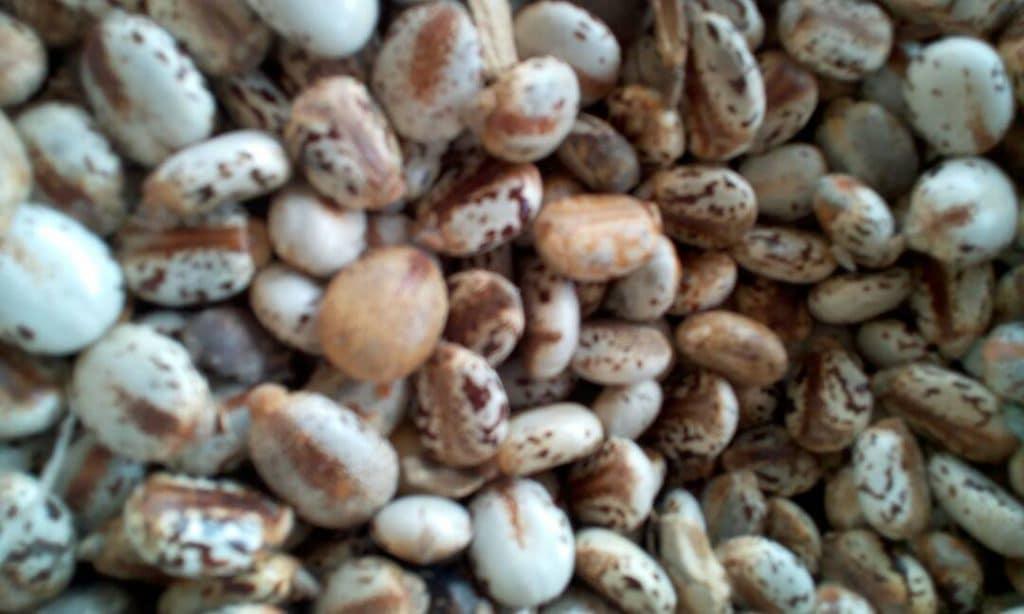 Castor bean farming